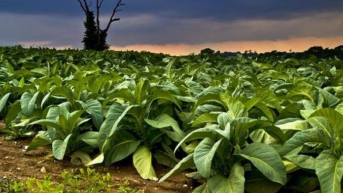 stock of tobacco
